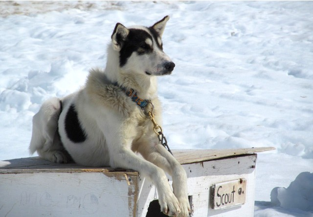 alaskan husky on a glacier