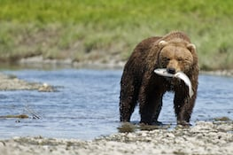 Photo of brown bear with salmon