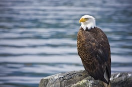 Photo of perched bald eagle