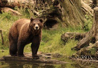 Photo of BROWN BEAR AT FORTRESS OF THE BEARS