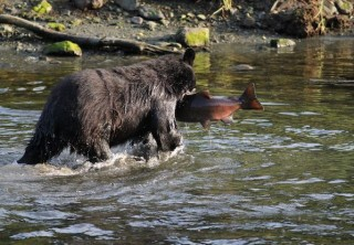 Photo of Black bear in Ketchikan eating salmon
