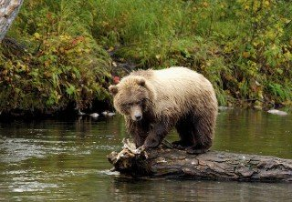 Photo of brown bear icy strait point