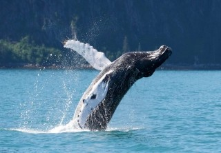 Photo of humpback whale breach