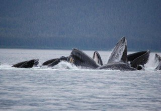 Photo of humpback whale feeding HTA