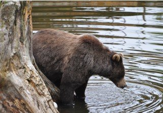 Photo of sitka brown bear