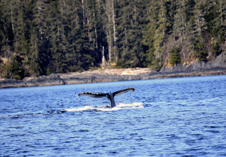 Photo of sitka whale tail