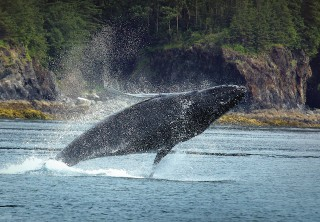 Photo of whale breaching with splash