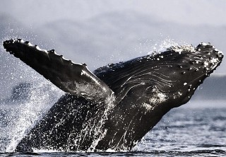 Photo of whale jumping juneau