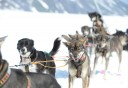Photo of Anchorage Helicopter Glacier Dogsled Tour Dogs
