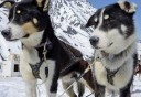 Photo of Anchorage Helicopter Glacier Dogsled Tour Dogsled team