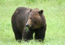 Photo of Bear_smiling_while_grazing