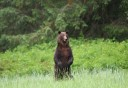 Photo of Bear_standing_up