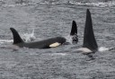 Photo of Breaching Orca Whales