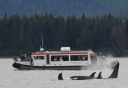 Photo of Whale and Brown Bear Combo Adventure Three Wolves boat with Orca