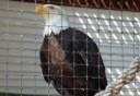 Photo of bald eagle at raptor center