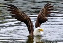 Photo of bald eagle fishing at herring cove