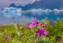 Photo of bear glacier wildflowers