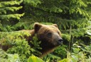 Photo of bear hiding in the wilderness in hoonah