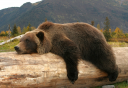 Photo of bear on a log