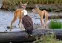 Photo of deer and bald eagle
