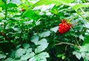 Photo of ketchikan salmonberry plant