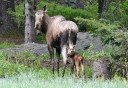 Photo of moose and baby in haines