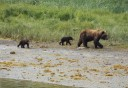 Photo of mother bear and her cubs on a walk