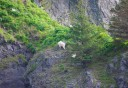 Photo of mountain goat