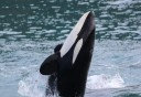 Photo of orca leaping