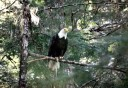 Photo of perched_eagle