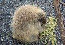 Photo of porcupine at the wildlife conservation center