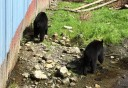 Photo of sitka black bears
