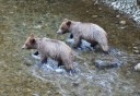 Photo of two bears walking in the river