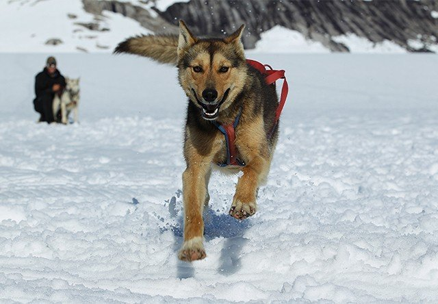 Photo of ALASKAN HUSKY
