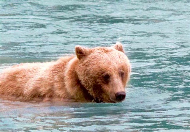 bear in chilkoot lake