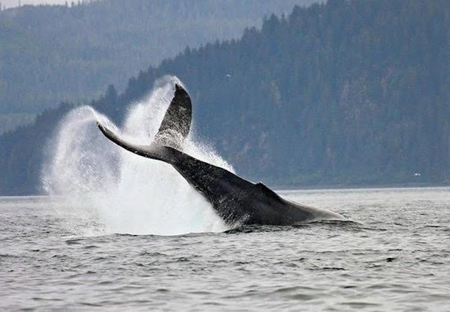 icy strait whale watching and bear tour