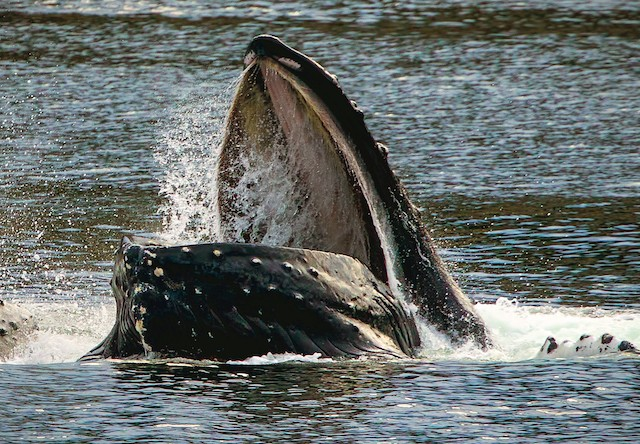 Photo of Whale eating krill