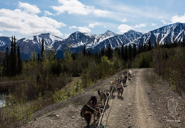 Photo of Yukon Dog Mushing