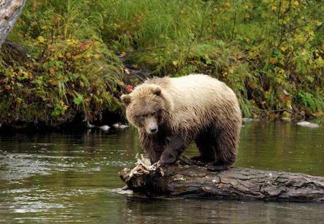 Alaskan Brown Bear on Chicagof Island