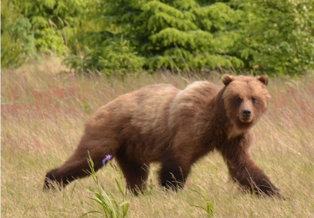 Photo of brown bear in skagway