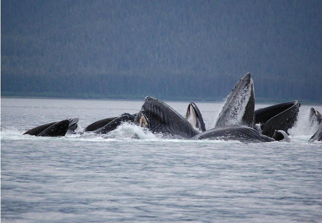 icy strait whale watching