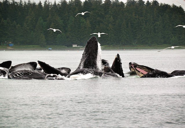 Photo of humpback whales juneau alaska auke bay
