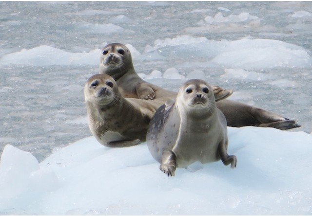 Photo of seals in the wild