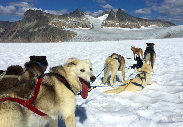 sled dogs on glacier