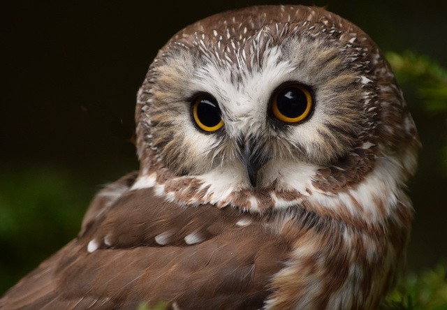 Photo of tootsie the northern owl